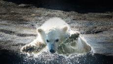 Młoda niedźwiedzica na wybiegu w Columbus Zoo