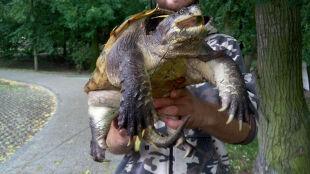 Groźny żółw jaszczurowaty po raz pierwszy schwytany w Polsce